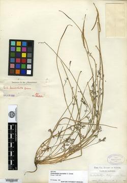 Image of Eschscholzia leucosticta