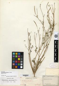 Image of Eschscholzia micrantha