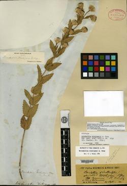 Image of Brickellia wislizeni