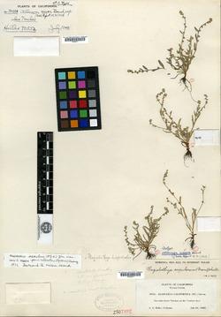 Image of Allocarya nigra
