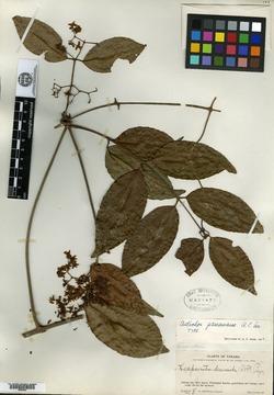 Anthodon panamensis image