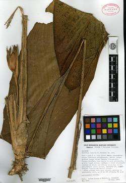 Calathea cuneata image