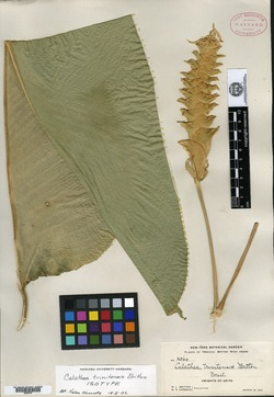 Image of Calathea casupito