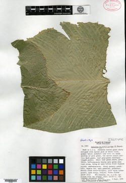 Calathea gymnocarpa image
