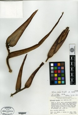 Image of Heliconia secunda