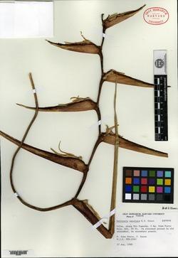 Heliconia maculata image