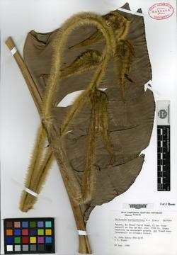 Heliconia xanthovillosa image