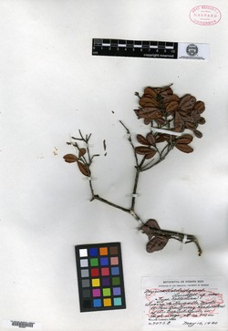Image of Myrica holdridgeana