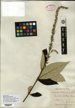 Image of Arachnothryx villosa