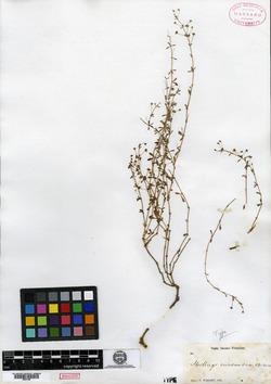 Mollugo enneandra image