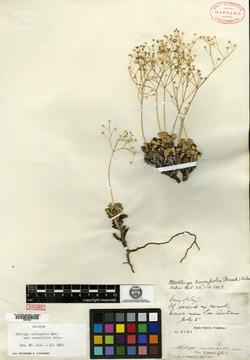 Image of Paramollugo cuneifolia