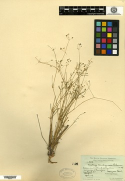 Mollugo snodgrassii image