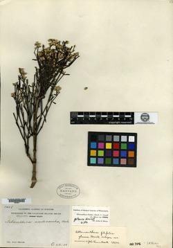 Alternanthera filifolia subsp. glauca image