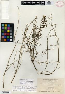 Alternanthera filifolia image