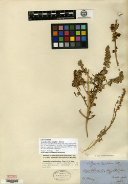 Amaranthus acanthochiton image