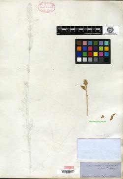 Image of Amaranthus obovatus
