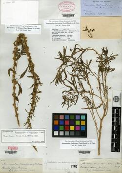 Amaranthus fimbriatus var. denticulatus image