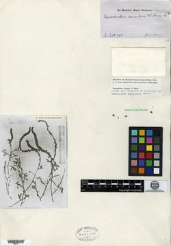 Image of Amaranthus annectens