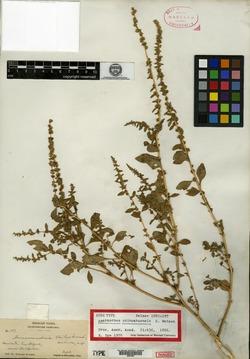 Image of Amaranthus chihuahuensis