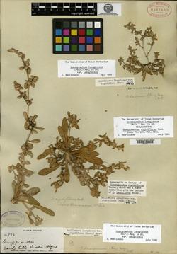 Gossypianthus rigidiflorus image