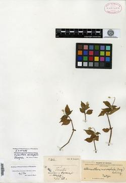 Image of Alternanthera lanceolata