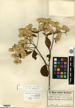 Image of Alternanthera pycnantha