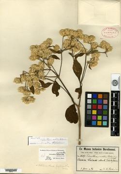 Image of Alternanthera pycnantha