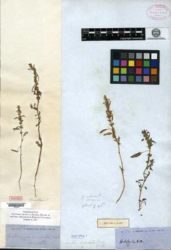 Amaranthus obcordatus image