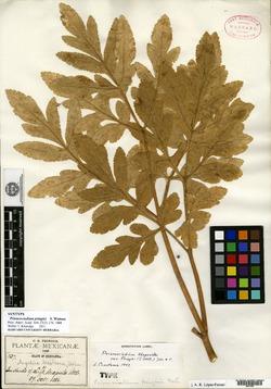 Image of Prionosciadium pringlei