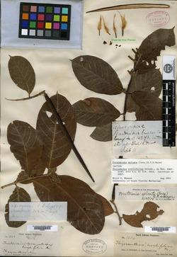 Image of Forsteronia spicata