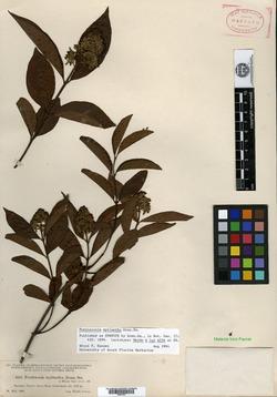 Image of Forsteronia myriantha