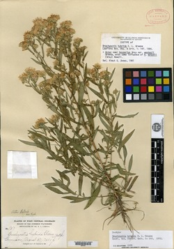 Image of Brachyactis hybrida