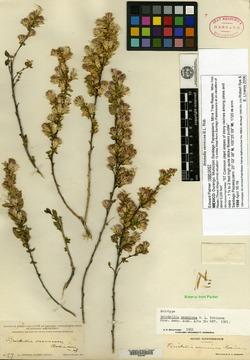 Image of Brickellia vernicosa