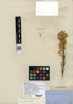 Image of Bigelowia paniculata