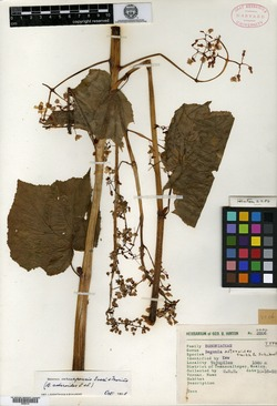 Image of Begonia asteroides