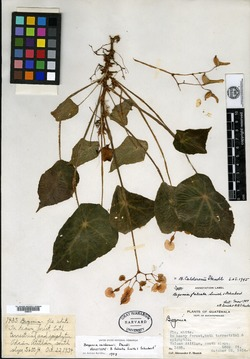Image of Begonia calderonii