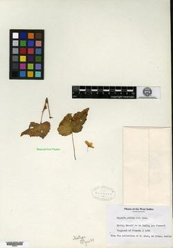 Begonia exilis image