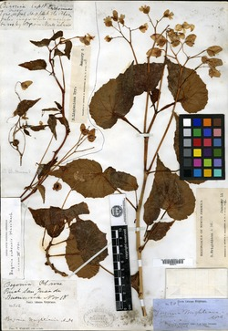 Image of Begonia wrightiana