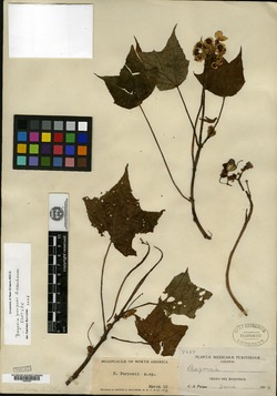 Image of Begonia purpusii