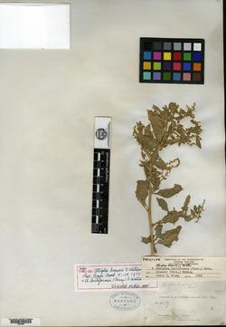 Atriplex lentiformis subsp. breweri image