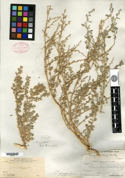 Image of Chenopodium parryi