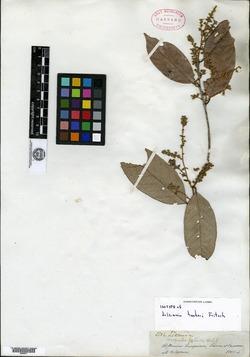 Licania latifolia image