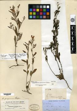 Image of Crocanthemum stipulatum