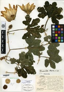 Image of Cucurbita pedatifolia