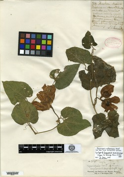 Image of Cayaponia maximowiczii