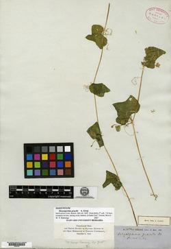 Sicyosperma gracile image