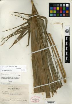 Sphaeradenia chiriquensis image