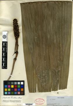 Carludovica palmata image