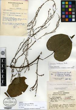 Image of Dioscorea hondurensis