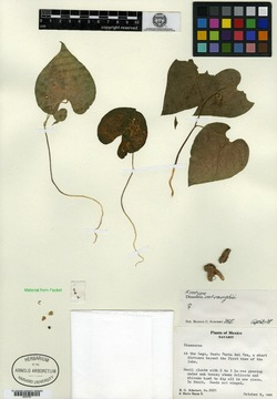 Image of Dioscorea mcvaughii